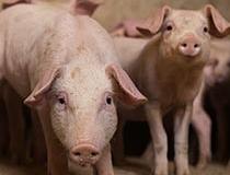 Análisis clínico en ganado porcino