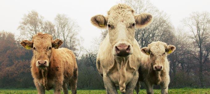 Vacas pirenaicas